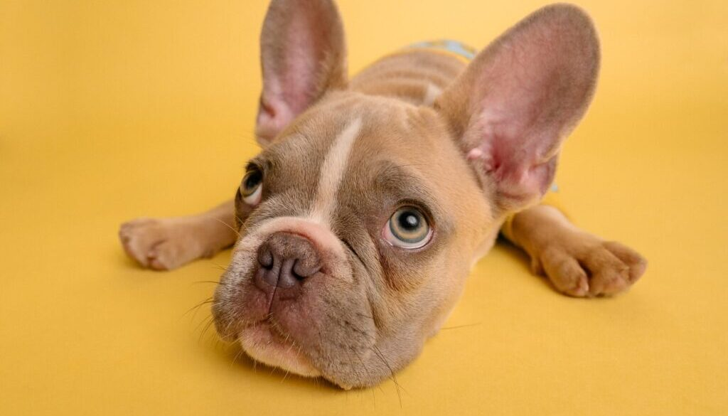 brown french bulldog puppy lying on yellow textile