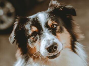 white black and brown long coated dog