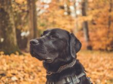 black Labrador retriever with collar