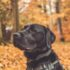 black Labrador retriever with collar