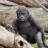 black monkey beside wooden logs