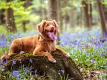 chocolate brown Labrador retriever lying on moss covered rock in woods