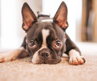 black and white french bulldog puppy lying on white textile
