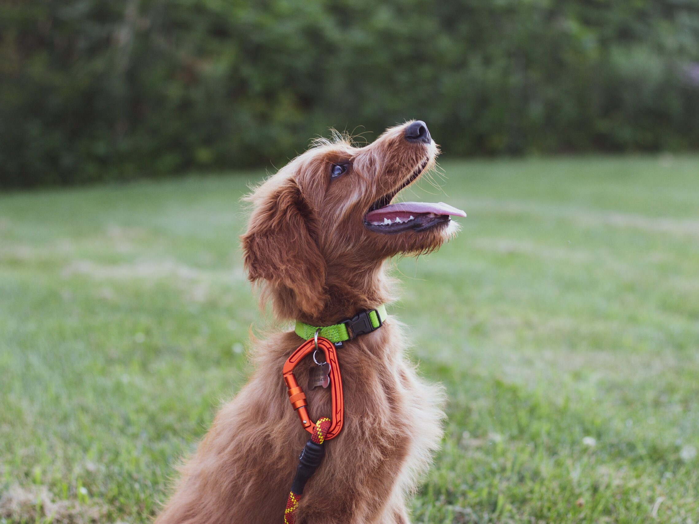 short-coated tan dog sits in green grass field during daytime