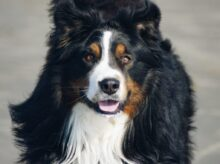 close-up photography of adult Bernese mountain dog