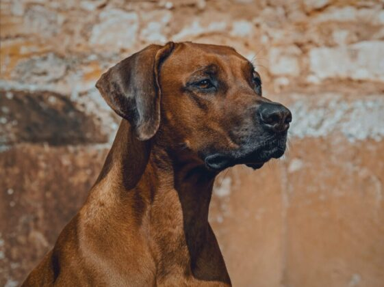 brown short coated dog in close up photography