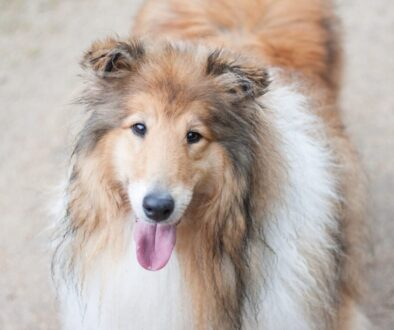 brown and white long coated dog